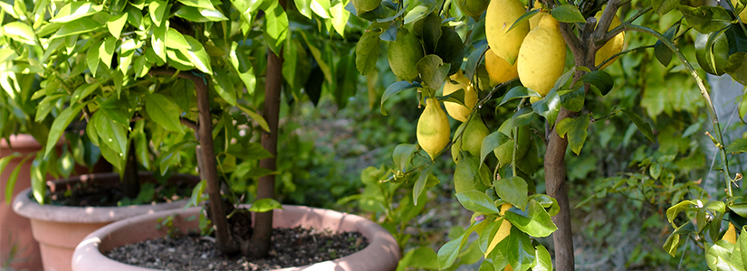 8 Great Fruit Trees for Pots