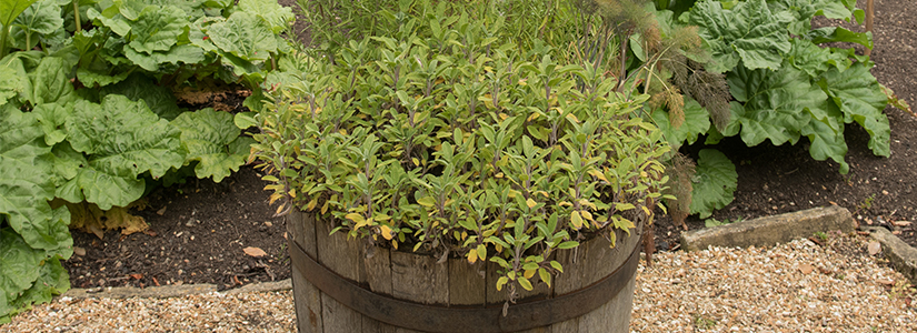 A Barrel Full of Fresh Herbs. Container herb garden, herb container garden, herb container gardening