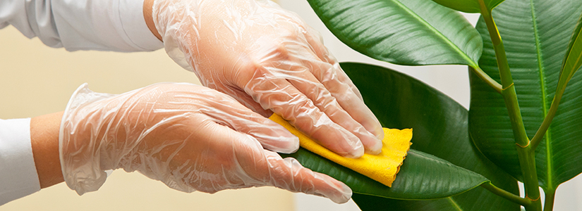 Cleaning Your Houseplants