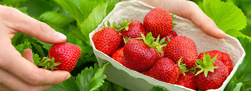 Grow Strawberries. Strawberries in pots. Growing strawberry.