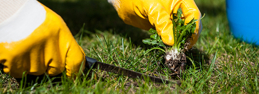 Top Techniques to killing weeds in lawn.