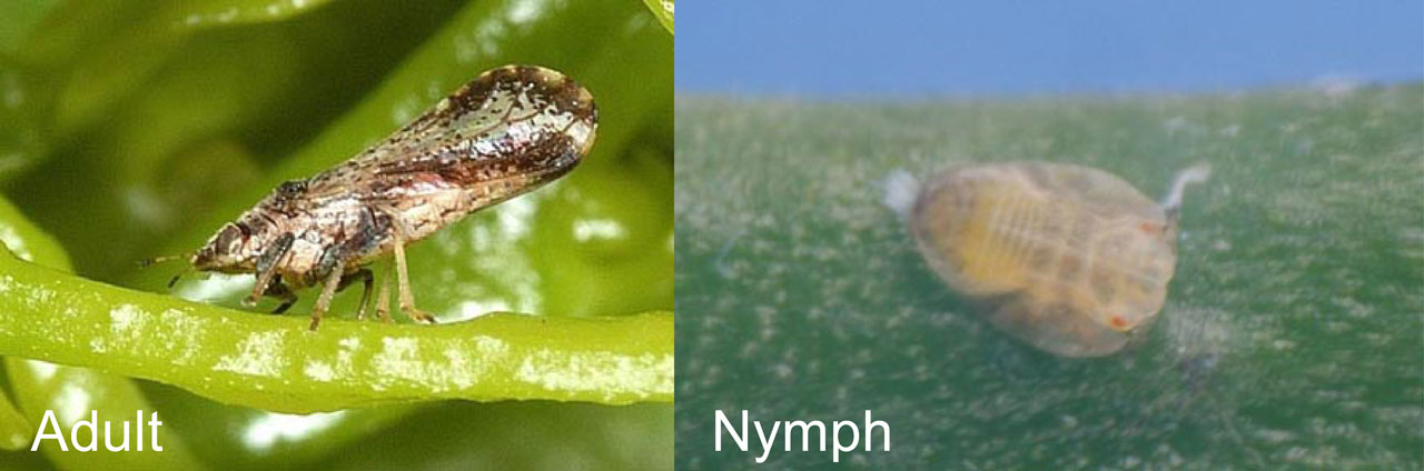 Asian_Citrus_Psyllid_Adult