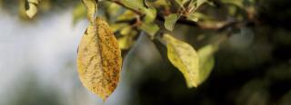 Controlling Fruit Tree Diseases