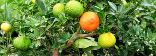 Growing Citrus as an Edible Houseplant
