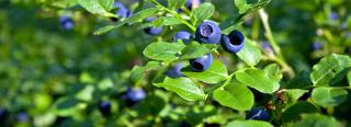 Growing Blueberries. blueberry bushes. blue berry bushes. blueberries bushes
