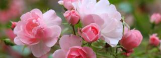 How to trim rose bushes. Rose bushes care. Care for rose bushes.