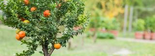 What Is a Dwarf Fruit Tree?