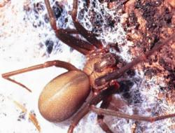 Brown_Recluse