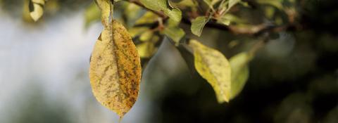 Controlling Fruit Tree Diseases. Fruit tree diseases california