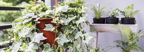 How to Grow Healthy Houseplants. Care of houseplants.