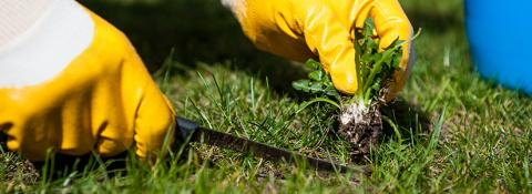 Top Techniques For Killing Weeds. Killing weeds in lawn. Kill weeds in grass.