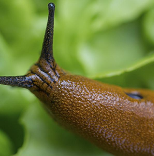 Pet friendly slug killer. How to get rid of slugs in garden pet friendly.