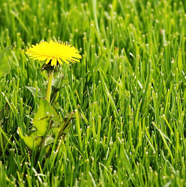 Control Lawn Diseases and Weeds With One Spray